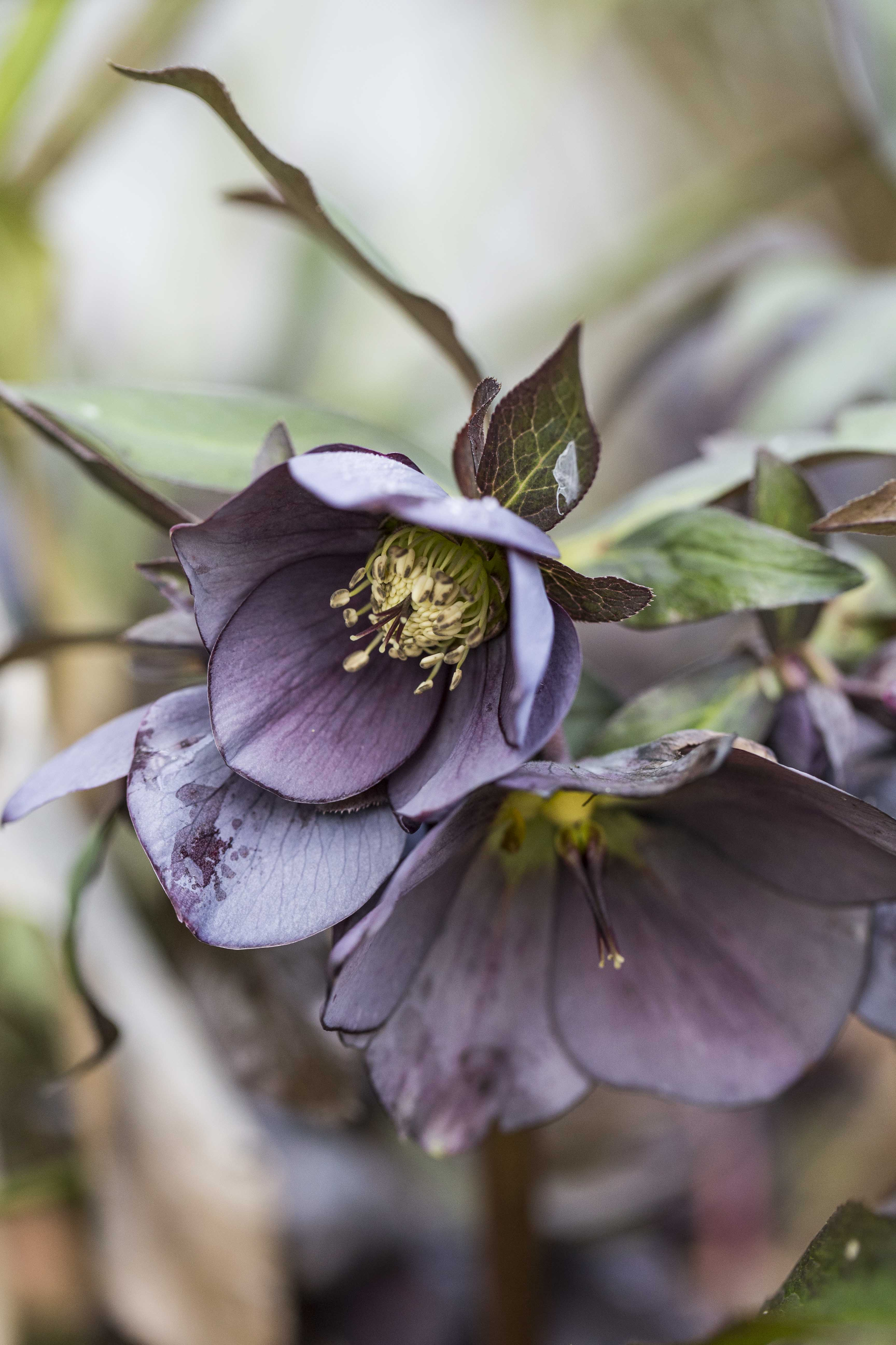 Hellebores in the front garden in spring